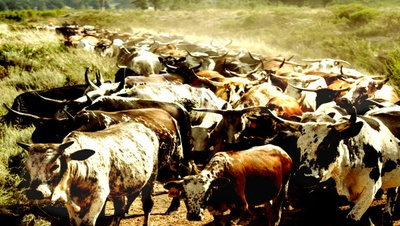 Nguni herd coming home